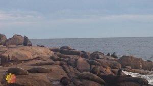 cabo polonio no uruguai leão marinho