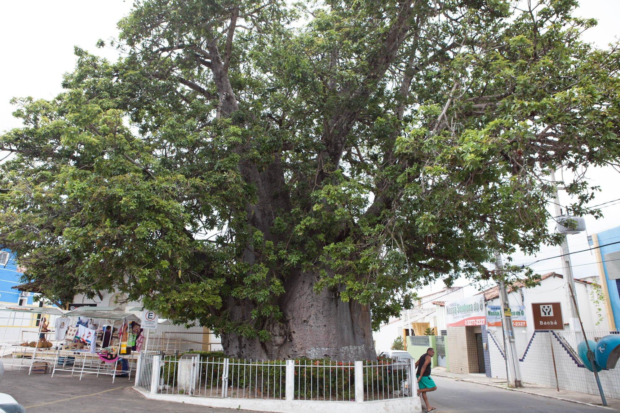 maior árvore brasil