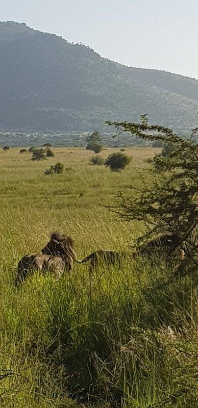 parque nacional de pilanesburg leão