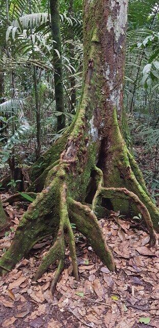 arvore selva amazonica